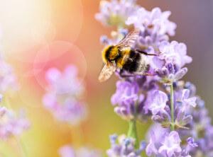 Honigbiene bei der Ernte